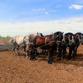 8 team horses by Jon Radtke - Animals Horses ( 8 team horses,  )