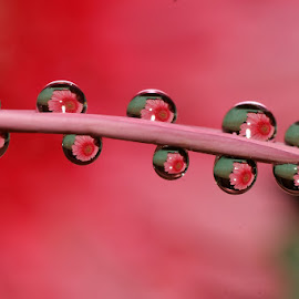 Petal Drops........ by Aroon  Kalandy - Abstract Water Drops & Splashes