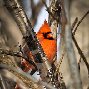 Le CARDINAL by Paul Bélair - Animals Birds ( oiseau, cardinal, d90, nikon )
