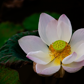 Age Of Loneliness by Steven De Siow - Flowers Single Flower ( flower nature, single flower, flower photo, flower photography, flower,  )