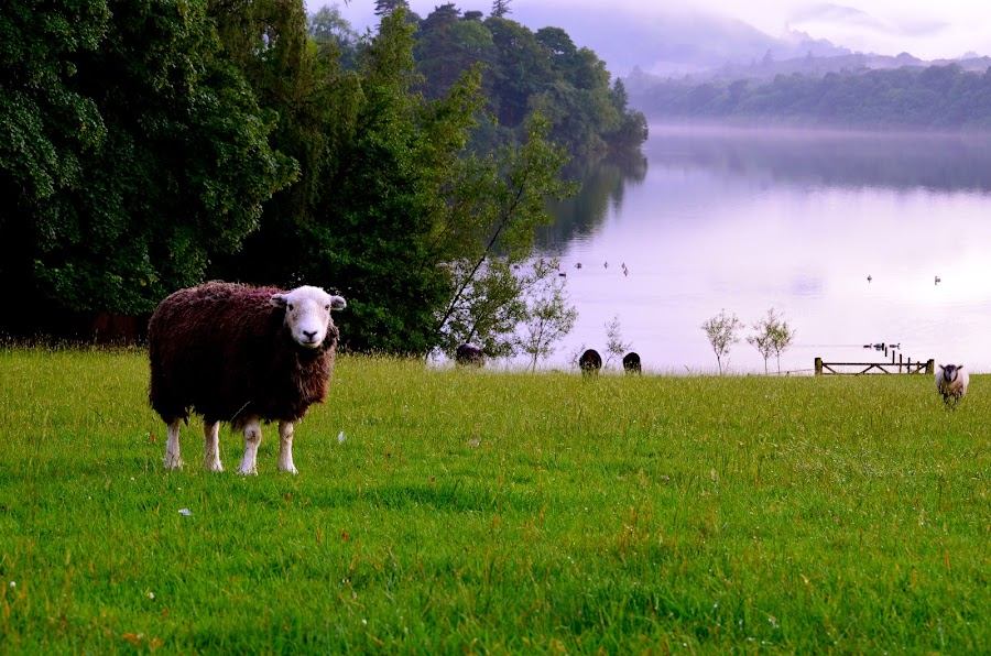 The Stare by Seamus Crowley - Animals Other ( water, mountains, uk, green, trees, lake, sheep, keswick )
