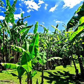 Banana Plantation by Michael Villecco - Nature Up Close Trees & Bushes (  )