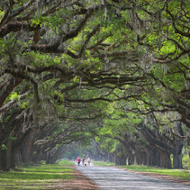 Quiet Walk by Ken Smith - Landscapes Travel ( wormsloe plantation, landscape )
