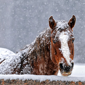 A New Blanket by Twin Wranglers Baker - Animals Horses (  )