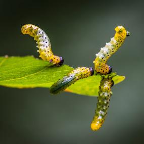 Baila baila by Juha Kauppila - Animals Insects & Spiders (  )