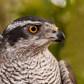Eye Of The Hunter by Russell Mander - Animals Birds ( deadly, eye, rapter, bird of prey, hunter )