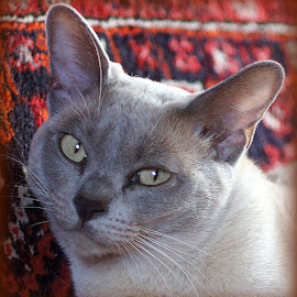 Mathilda by Caroline Beaumont - Animals - Cats Portraits ( grey cat, pedigree cat, lilac burmese cat, burmese cat, burmese )