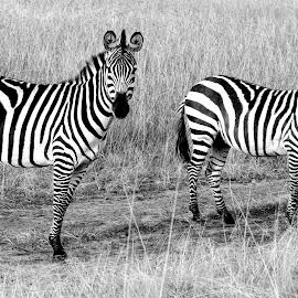 Zebras in Mara by Pravine Chester - Black & White Animals ( animals, photograph, monochrome, nature, black and white, masai mara, kenya, wildlife, zebras )
