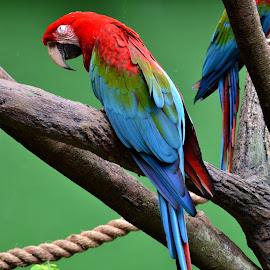 bird portrait by Roland Viado - Animals Birds ( colorful feathers, bird, jurong bird park )