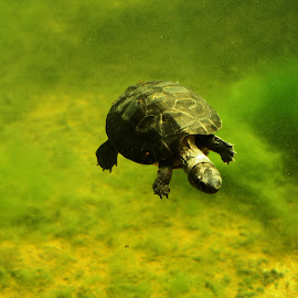 Swimming Turtle by Ricardo Fong - Animals Reptiles ( zoo, green, miami, turtle, swimming,  )