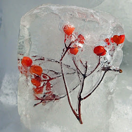 Christmas cast in Ice by Alice Chia - Public Holidays Christmas ( clear, red, ice, snow, stalk, brown, transparent, berries )