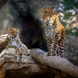 The Queen and her guardian by Mauritz Janeke - Digital Art Animals ( big cats, uae, mauritz, male and female, leopards, abu dhabi, leopard )
