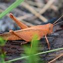 Mischievous Bird Grasshopper