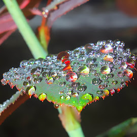 colorful droplets by Capucino Julio - Nature Up Close Leaves & Grasses ( water, rose, colorful, leaves, droplets )