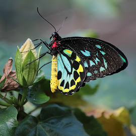 The Visitor by Judy Laliberte - Novices Only Wildlife ( butterfly, nature, blue, colors, yellow, flower )