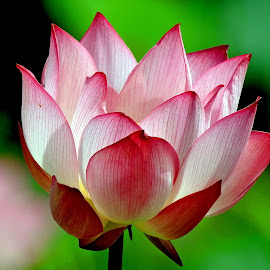 Lotus by Asif Bora - Flowers Flowers in the Wild