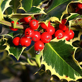 Ready for Christmas by Chrissie Barrow - Nature Up Close Other Natural Objects ( yellow edged, red, holly, nature, green, leaves, closeup, berries, Christmas, card, Santa, Santa Claus, holiday, holidays, season, Advent )