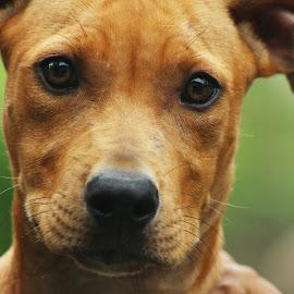 Little Jazzy by Febrian Dwinanto - Animals - Dogs Portraits ( nature, pitbull, puppy, dog, blacknose, eyes, animal )