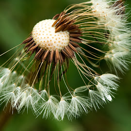 Dandylion Seeds by Simon Hall - Nature Up Close Other plants
