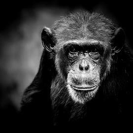 Chimpanzee by Kusal Gautamadasa - Animals Other Mammals