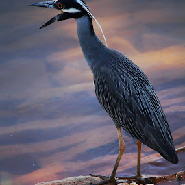 Yellow Crowned Night Heron by Jim Hendrickson - Novices Only Wildlife ( #heron, #wild_birds, #birds, #wildlife, #night_heron )