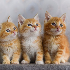 Three kittens by Eglė Eglė - Animals - Cats Kittens ( cats, cat, orange cat, kitten, three, kittens, cute, kitty )