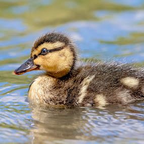 Mallard Duckling in a Pond by Debbie Quick - Animals Birds ( pond, newburgh, debbie quick, nature, nature up close, natures best shots, new york, debs creative images, mallard, national geographic, wildlife photography, duck photography, animal photography, duck, downing park, animal, duckling, wild, hudson valley, nature photography, wildlife )