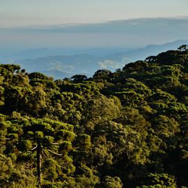 Araucarias - morro da Pedra do Baú - Campos do Jordão SP by Marcello Toldi - Landscapes Forests