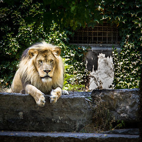 by Dan Miller - Animals Lions, Tigers & Big Cats