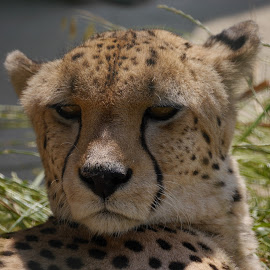 Chilling in the sun by Sharon Bennett - Animals Lions, Tigers & Big Cats ( big cat, spots, cheetah, spotted, nature, wildlife )