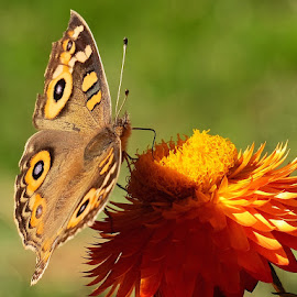 meadow argus by Donna Racheal - Animals Insects & Spiders ( butterfly, meadow argus, butterflies, nature, garden,  )