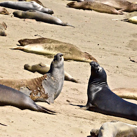 Elephant Seals by Mike Doherty - Animals Sea Creatures