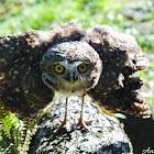 Coruja-buraqueira / Burrowing owl