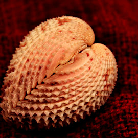 Heart Cockle by Wendy Meehan - Animals Sea Creatures ( seashell, heart cockle )