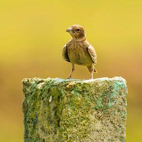 Watch me by Priyank Jha - Animals Birds ( nature, wildlife, nikon d7100, india, nikon, birds, raipur )
