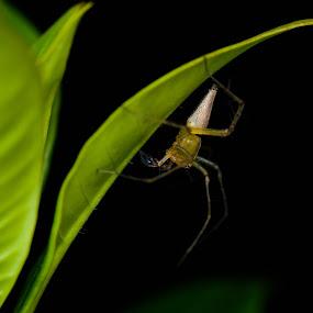 lynx spider by Zaidi Razak - Animals Insects & Spiders