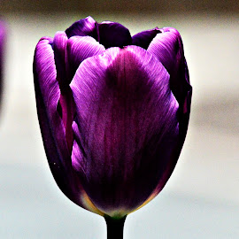 Purple Tulip by Bernadette Mueller - Novices Only Flowers & Plants