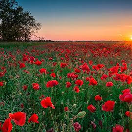 Red poppy field in sunset by Luka Balković - Landscapes Prairies, Meadows & Fields ( poppy field, plaines, red flower, croatia, poppy, meadows, sunlight, landscape, field, blue sky, red poppy, sunset, trees, summer, poppies, flowers, golden hour )