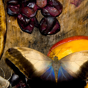 Happy flash accident by Rich Malone - Animals Insects & Spiders ( banana, butterfly, butterflies, grapes, apple, insect, moth )