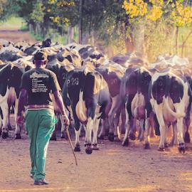 Cows by Lodewyk W Goosen-Photography - Animals Other ( farm, animals, farms, farmland, dairy, cows )