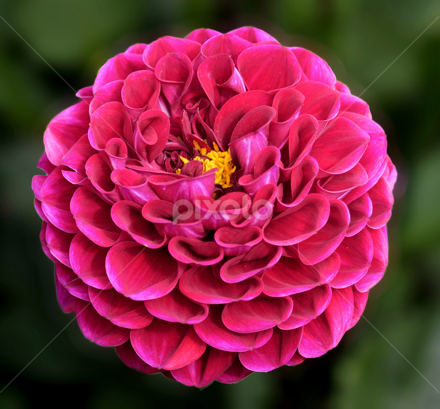 Dahlia 9995 by Raphael RaCcoon - Flowers Single Flower