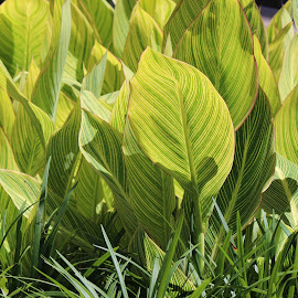 Stripes by William Lanza - Nature Up Close Leaves & Grasses ( arrangement, grass, striped_leaves, leaves, garden )