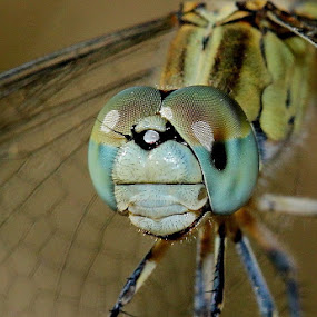 Dragonfly by Bhavya Joshi - Animals Insects & Spiders ( dragonfly )