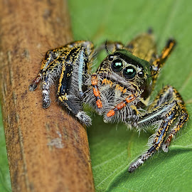 Jumping Spider (Hyllus sp.) by Meorjay Creation - Animals Insects & Spiders