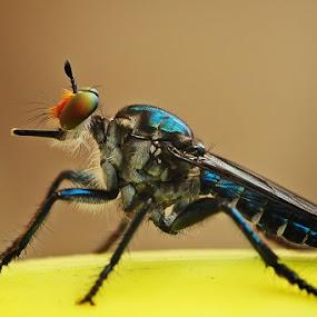 Blue Metalic Rober by Setiady Wijaya - Animals Insects & Spiders ( roberfly )