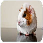 Guinea Pig sounds APK for Bluestacks