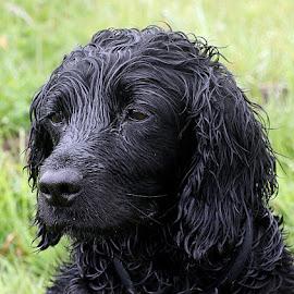 Dusty by Chrissie Barrow - Animals - Dogs Portraits ( grass, spaniel, bokeh, portrait, eyes, female, pet, fur, ears, wet, dog, nose, black )