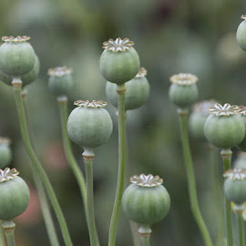Poppy Seeds by Janet Marsh - Nature Up Close Gardens & Produce ( zoo, green, poppy seeds )