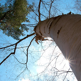 Birch by Kellie Prowse - Nature Up Close Trees & Bushes ( birch, sky, tree, white, dow gardens, sun )
