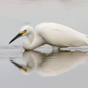 Hey I see you by Ruth Jolly - Animals Birds ( bird, nature, avian, wildlife, shorebird, snowy egret, egret, animal,  )